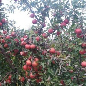 Продам яблоко,  разные сорта.