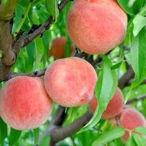 Саженцы персика недорого из Питомника. Весна-2021.