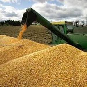 купим рапс пшеницу,  сою,  кукурузу,  ячмень,  подсолнечник