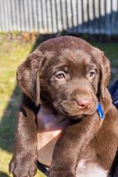 Породные красивые щенки шоколадного цвета Лабрадор Ретривер